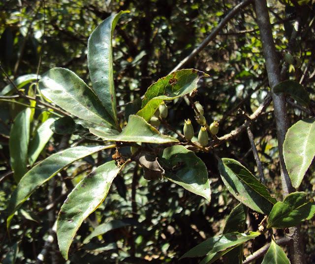 Cây Dung - Symplocos racemosa - Nguyên liệu làm thuốc Chữa Bệnh Tiêu Hóa