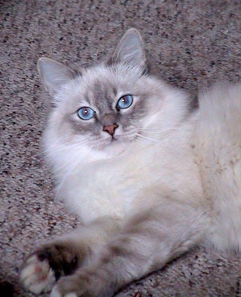 cute cats images birmanese cats kittens nice cats pictures beautiful cats blue eyes photography