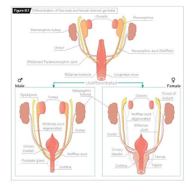 Phenotypic Sex Differentiation, Internal genitalia, External genitalia