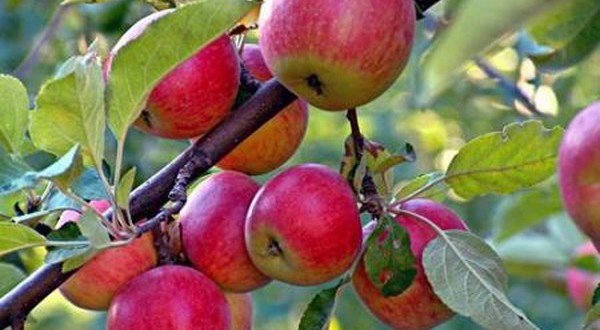 تسويق نحو 1450 طنا من محصول التفاح في السويداء