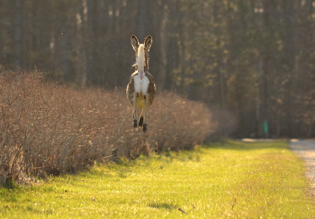 Woods Walks and Wildlife: Airborn Deer