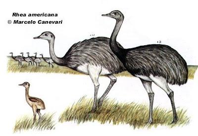 Aves no voladoras de Argentina Ñandú Rhea americana