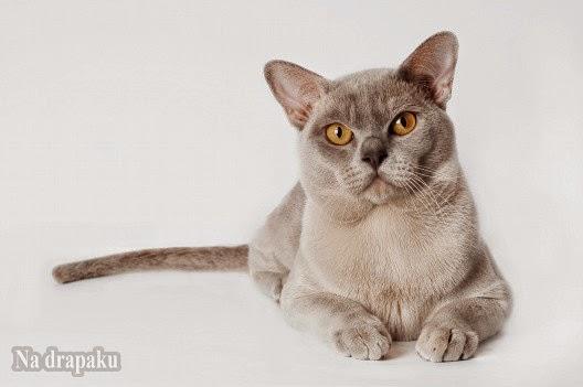 Nużyca kotów