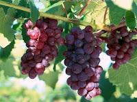 Klasifikasi dan Morfologi Tanaman Anggur Lengkap