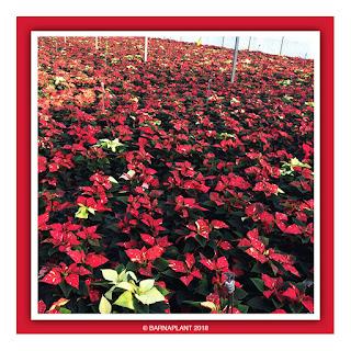 Poinsettia-Euphorbia-Pulcherrima-Barnaplant-Barcelona