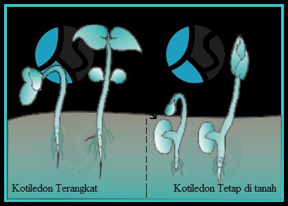 Perbedaan Epigeal dan hipogeal