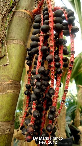 frutos PALMEIRA ARECA TRIANDRA