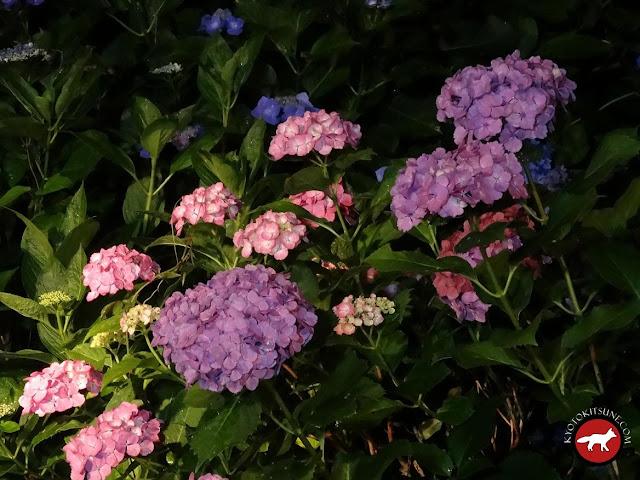 Hortensia roses du temple Mimurotoji de Uji la nuit