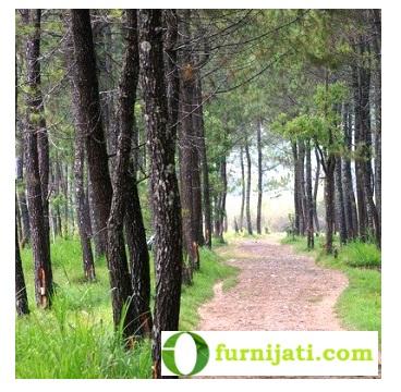 Pohon Jati Belanda (Pinus-Pineswood)
