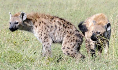 Mikroba Membantu Hyena Berkomunikasi Melalui Bau Tubuh Mikroba Membantu Hyena Berkomunikasi Melalui Bau Tubuh
