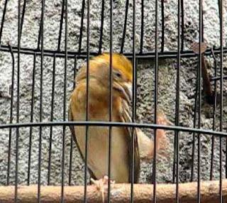 Burung Manyar,Cara Membuat Gacor Burung Manyar