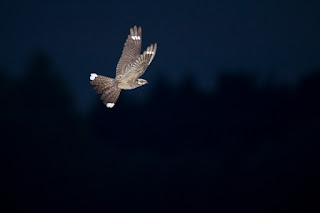 Nightjar by Chris Knights