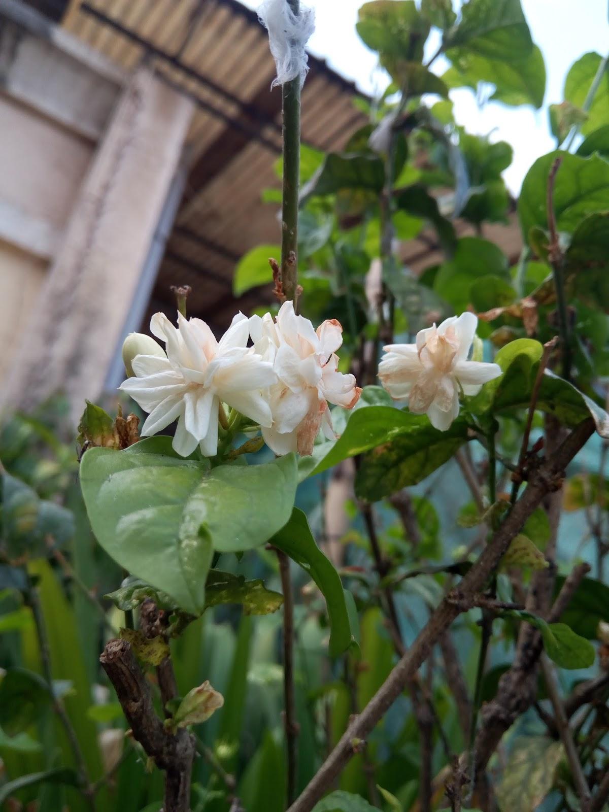 Garden Care Simplified: Mogra Flowering Plants Summer Care