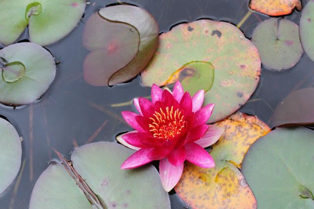 Garnish Island Pink Lily