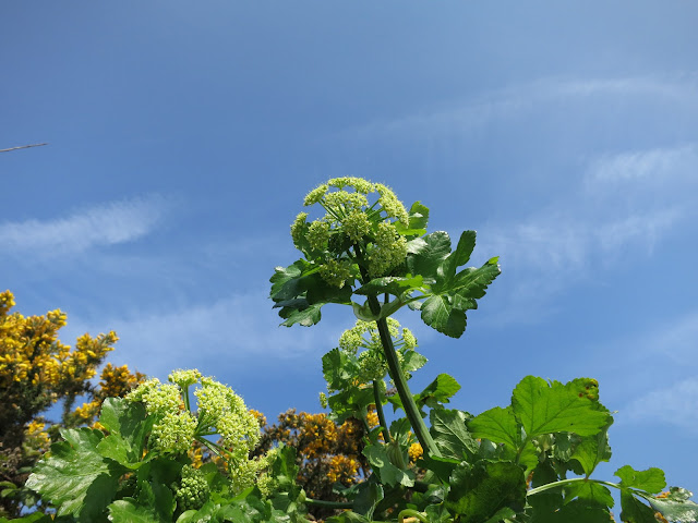 Alexanders (Smyrnium olusatrum) and gorse against a blue sky.