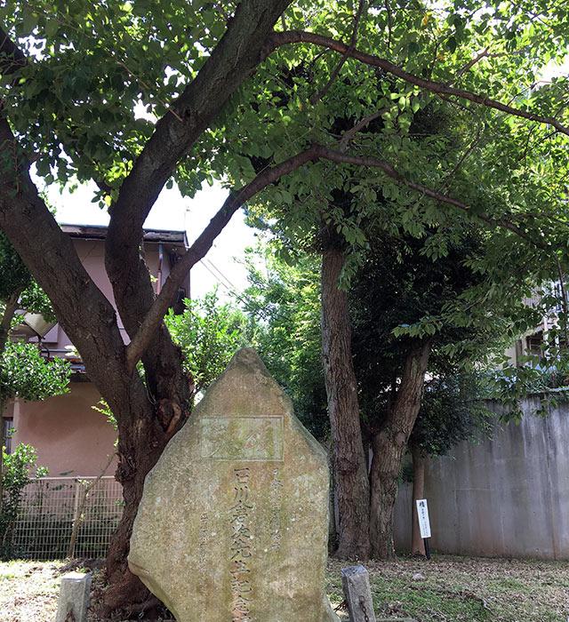 浜松市立中央図書館の前庭の石川倉次石碑の後ろに植えられた槐