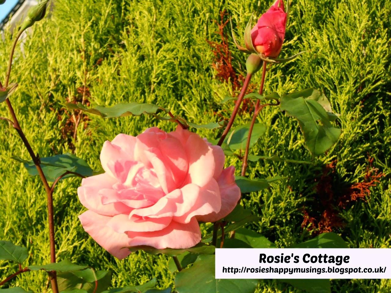 beautiful roses in Rosie's garden