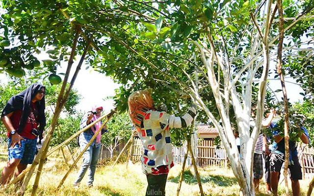 Perempuan-perempuan bertugas melaburi kapur gamping pada dahan dan ranting pohon jeruk