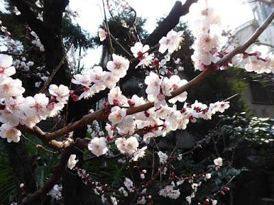 大阪天満宮 星合池の梅