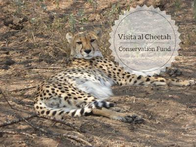 visita al cheetah Conservation Fund in Namibia: un ghepardo