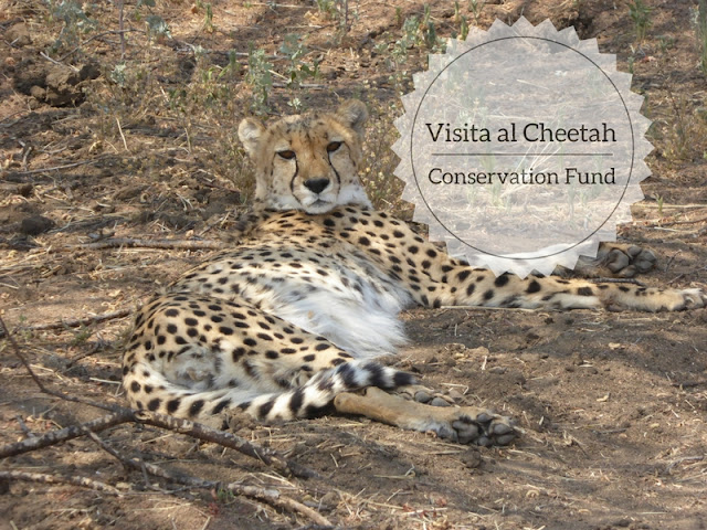 visita al cheetah Conservation Fund in Namibia: un ghepardo