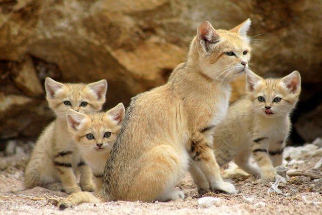 arabian sand cat facts