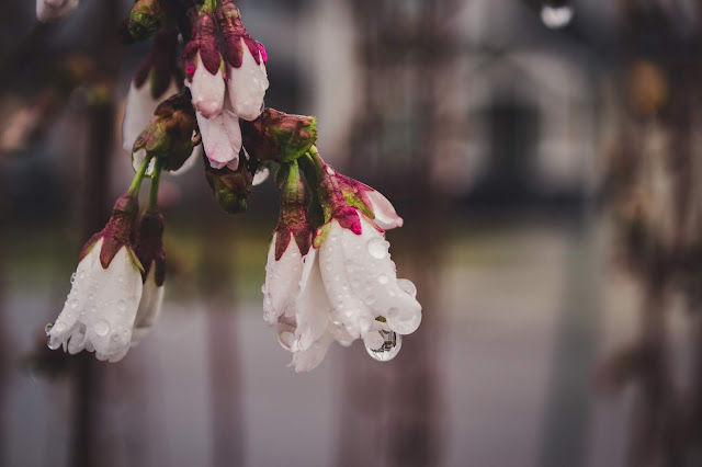 Spring flowers, rain