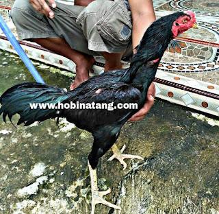 Jenis Ayam Bangkok Jragem