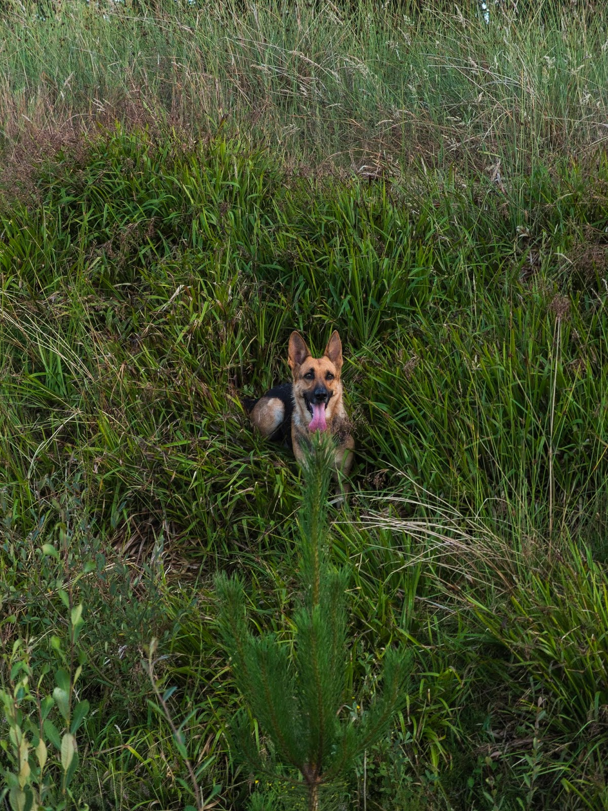 A German Shepherd sitting in long grass on a steep hill looking at the camera.
