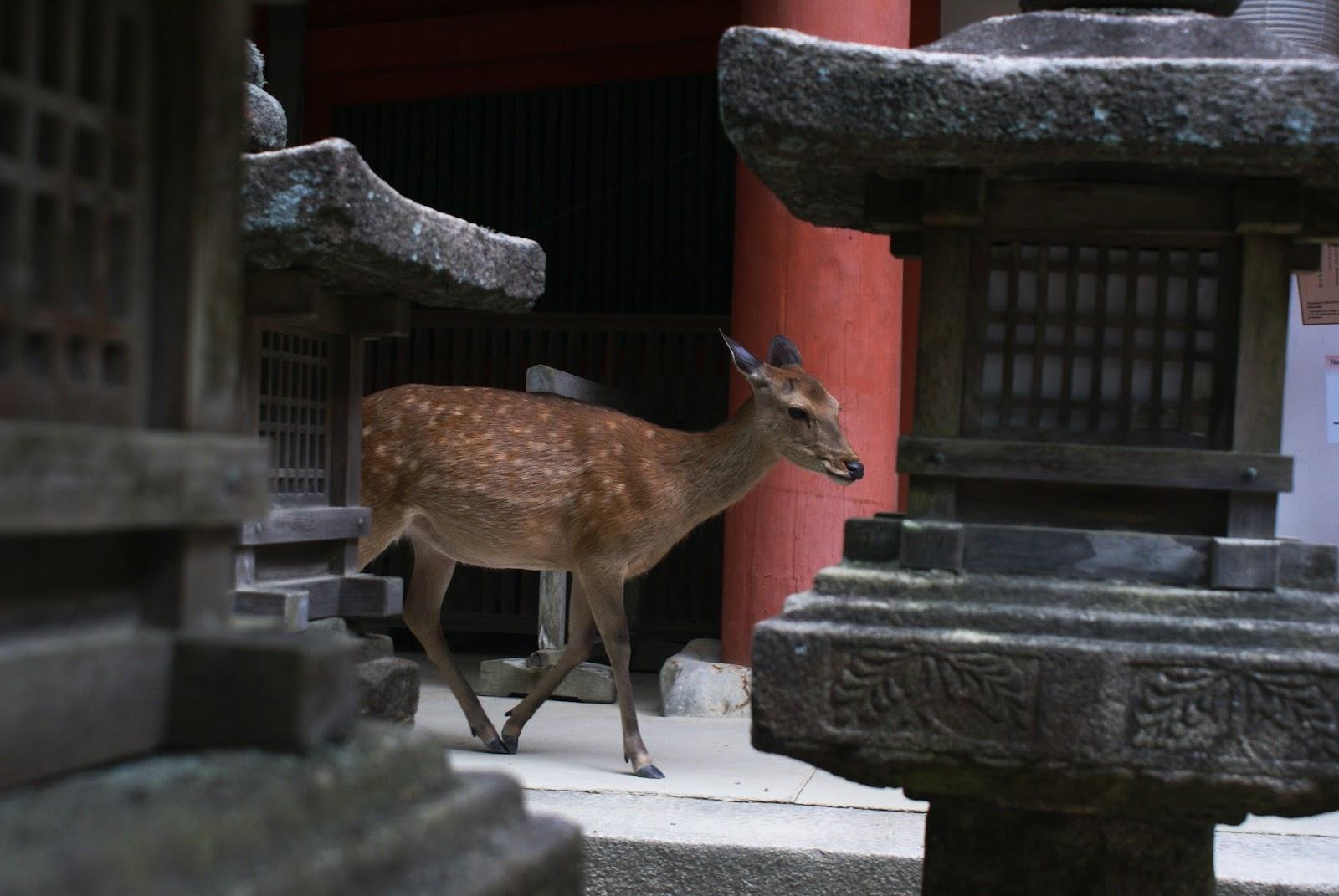 kasuga taisha nara koen shrine kansai japan shika