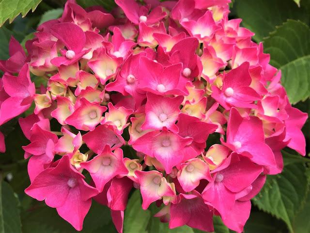 Hortensie pink
