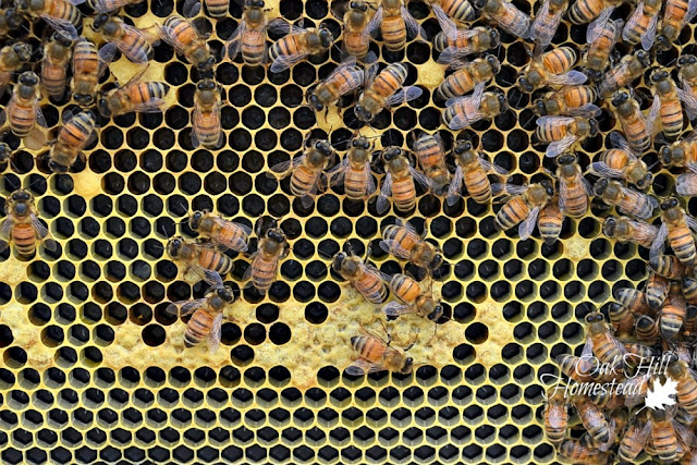 Frame of bees with eggs - they look like a tiny grain of rice, one in each honeycomb cell.