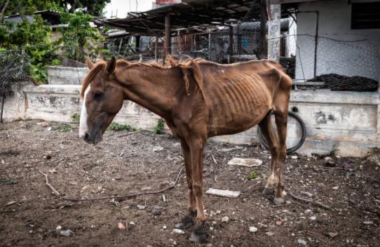 cavalo-magro-doente-sick-horse