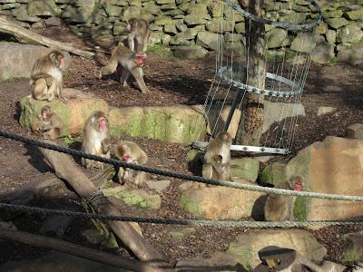 Macacos japoneses en el parque de Launceston, Tasmania
