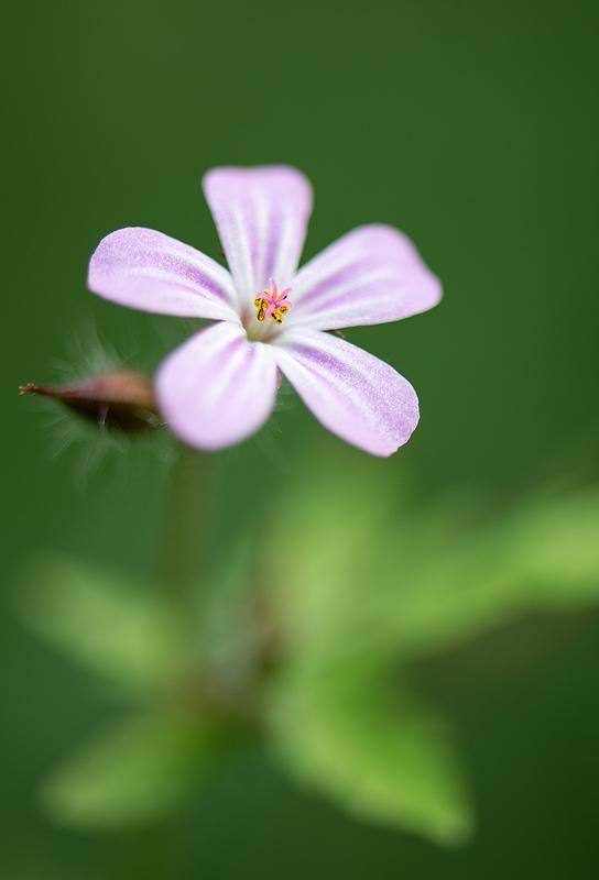 Herb Robert - Geranium robertianum. Nikon D4 with Nikkor 105mm F2.8 macro lens. Tripod and cable release