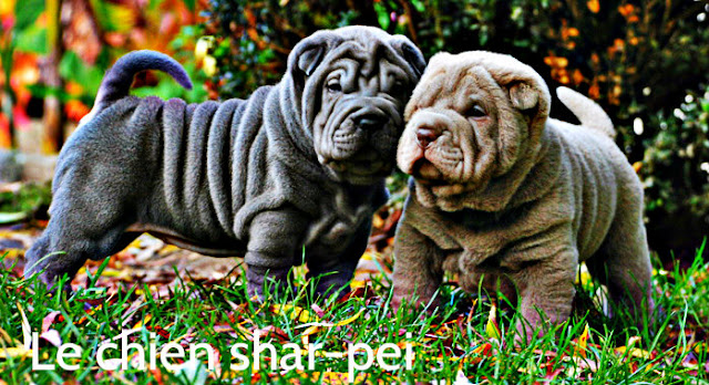 shar-pei chien de garde