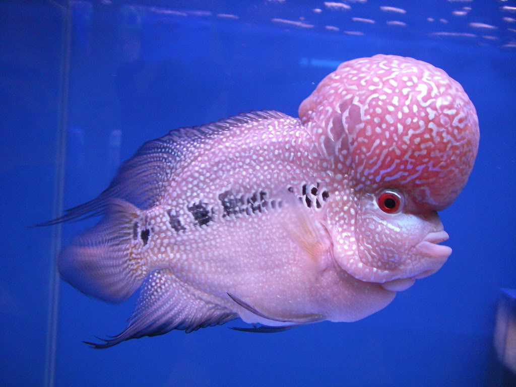 Flowerhorn The Hybrid Cichlids: How to Know Male or Female