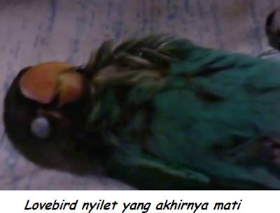 mengatasi lovebird nyilet