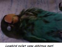 Cara Mengatasi Lovebird Nyilet Atau Kurus