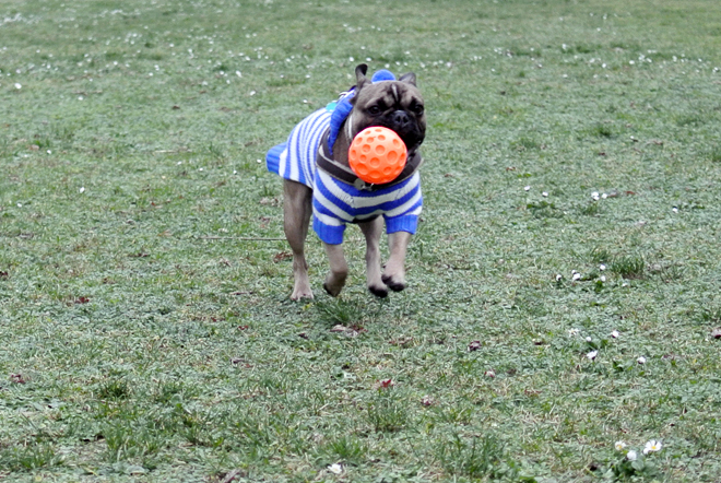 French Bulldog Ball