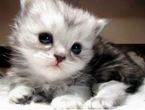 Kitten  Kucing Anggora