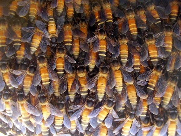 lebah madu tualang di sarangnya
