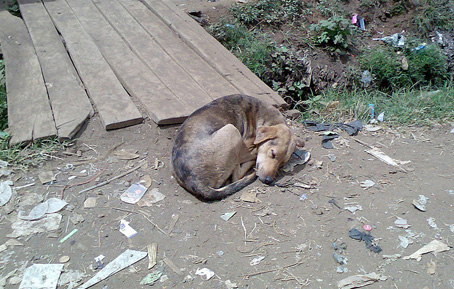 """Cette image montre un chien de taille moyenne, de couleur marron et de race quelconque, un batard probablement, couche sur le sol, sur de la terre pour etre plus precis, pres d'un pont de fortune fait de sept planches de bois mises bout a bout. Quelques lambeaux de végétation, des touffes d'herbes principalement, jonchent le sol près de l'espece de caniveau qu'enjambe le pont. Le sol terreux sur lequel le chien est assoupi est couvert de détritus qui ressemblent a divers bouts de papier, de plastique ou de verre. Le chien a l'air de dormir profondement comme l'indique ses yeux fermés et sa position recroquevillée. De plus, le chien affiche sur sa gueule une impression de bien-etre qui contraste bien evidemment fortement avec l'endroit ou il est couche, endroit sale et sans absolument aucun confort. Cette image est du coup particulierment touchante, car elle montre un etre qui se contente de peu, heureux dans sa misere et etranger au monde malsain qui l'entoure. Cette tres belle image accompagne le poeme """"Doggy dreams"""" du grand poete Le Marginal Magnifique dans lequel le brillant auteur expose en trois strophes le contenu possible des reves que font les chiens : courir dans la nature, grimper sur une femelle, manger des plats pas forcement ragoutants. Dans la quatrieme strophe, les chiens apparaissent transfigures en saints par leur innocence et leur purete d'ame. Ce poeme oeuvre donc implicitement pour la protection animale puisqu'il rend les chiens humains et en fait des etres bons, nobles et heureux de nature. Un superbe poeme du Marginal Magnifique !"""