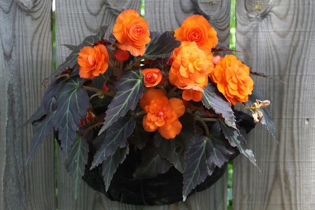 begonias, container gardening, orange flowers, gardening, Anne Butera, My Giant Strawberry