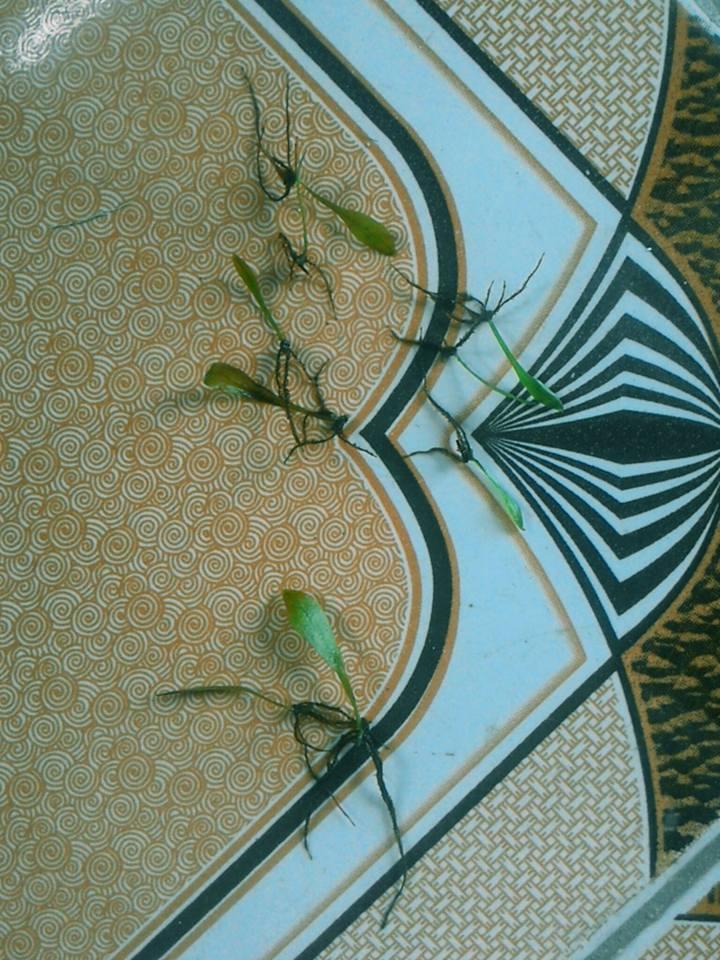 Những cây dương xỉ thủy sinh con được tách ra từ là (ảnh Huy Tĩnh)