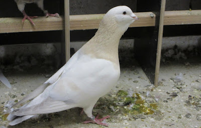 basra pigeon