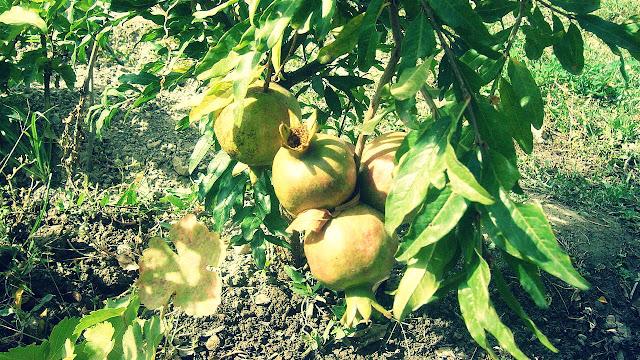 agar pohon delima cepat berbuah