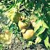 Agar Pohon Delima Cepat Berbuah Di Pot Dan Kebun