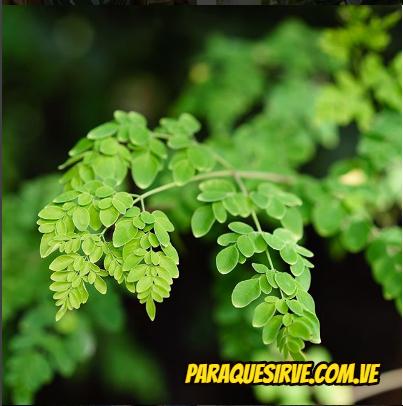 La planta de moringa sirve para adelgazar