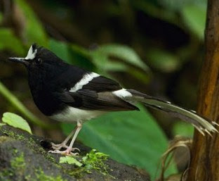 Mengenal Dekat Jenis Burung Kacer Air/Meninting